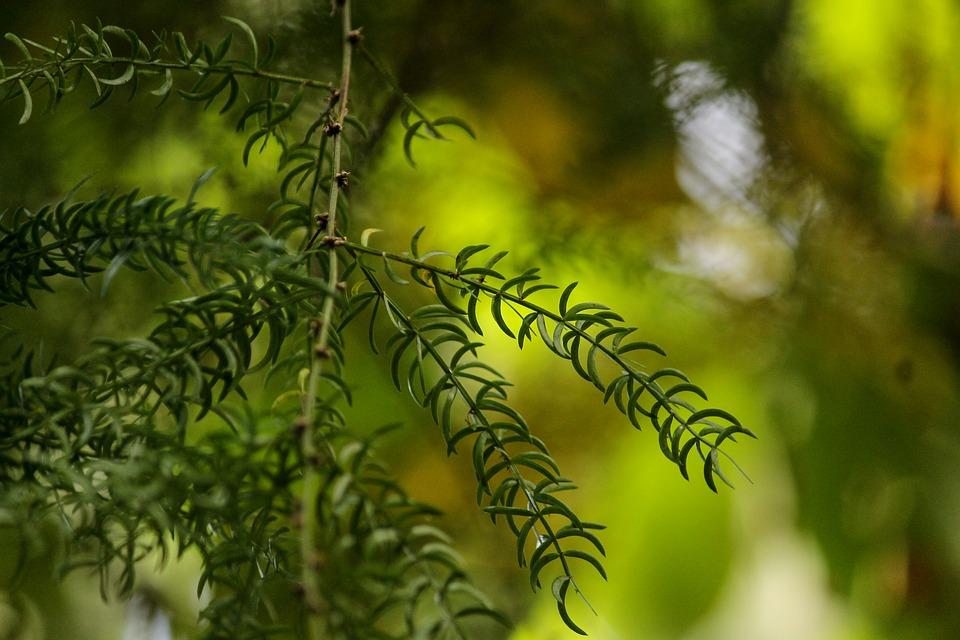 asparagus-racemosus-3623964_960_720