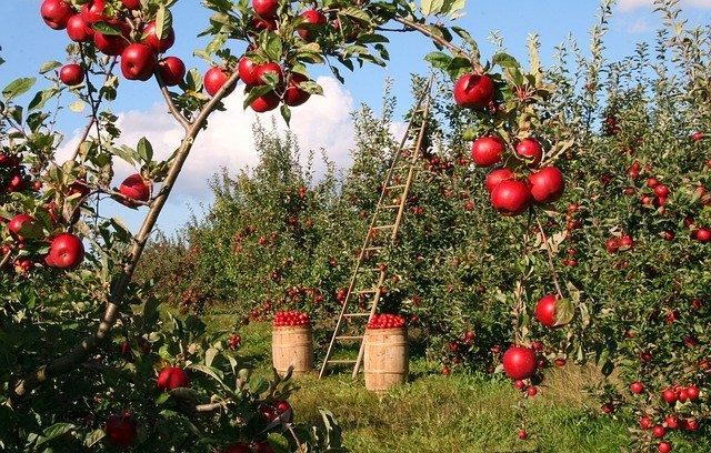jabloňový sad hned u baráku